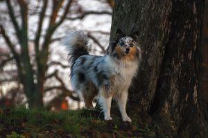Shetland sheepdog ?